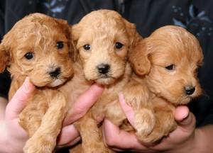puppies-688425_640 (1)